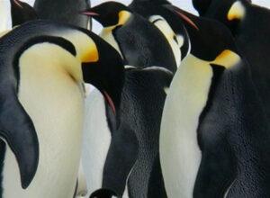 Los pingüinos se enamoran una vez en la vida