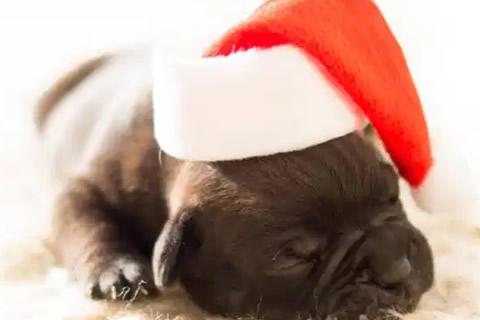 cachorro regalo navidad
