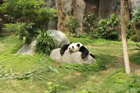 curiosidades de los osos pandas