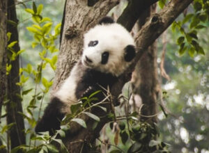 Curiosidades sobre los osos panda