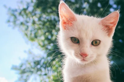 diferencia entre gato blanco y albino