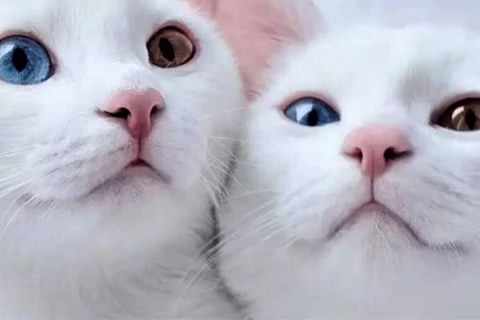 gato albino