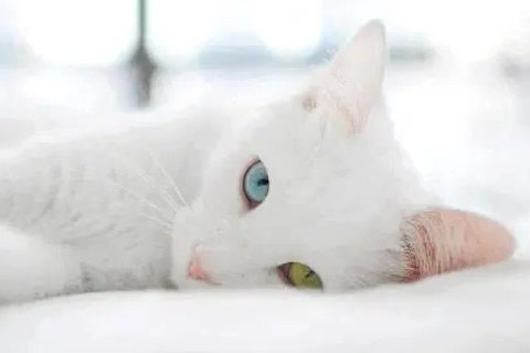 gato alvino