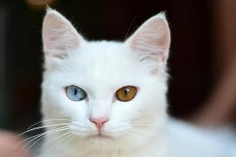 gatos albinos