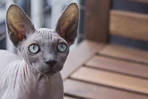 gatos esfinge