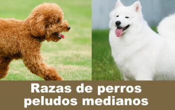 Razas de perros peludos medianos